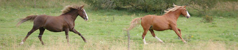 Hera och Sasha, American Curly hästar