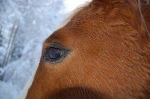 American Curly horse öga, Källhagens Gård