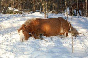 hera i snön4_06 allergivänlig häst