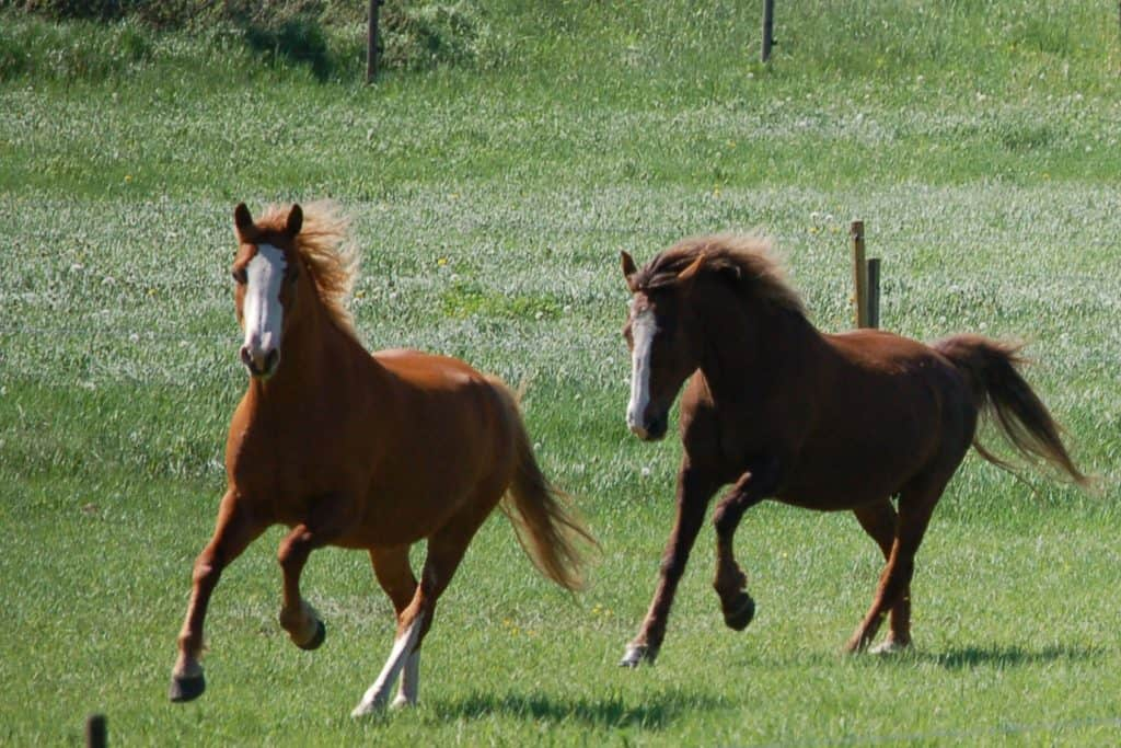 Hera och Sasha, American Curly hästar Shiloh