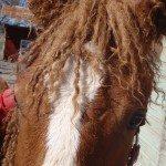 Nytt hopp för allergiker mot häst visar en forskning om den lockiga American Curly hästen.